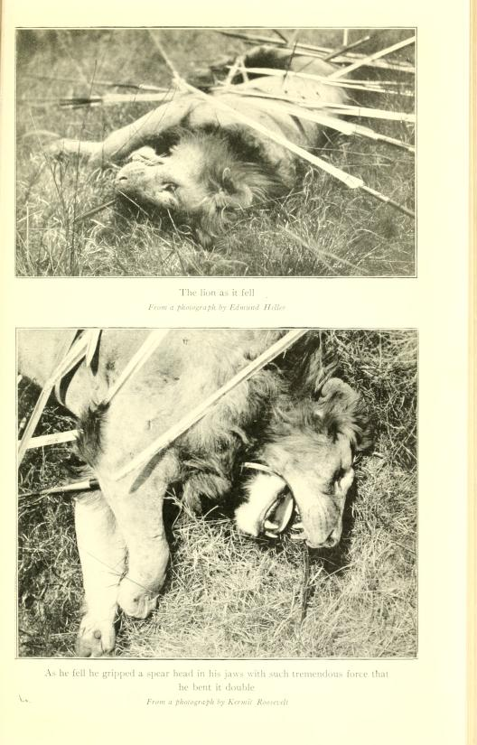 Speared lion